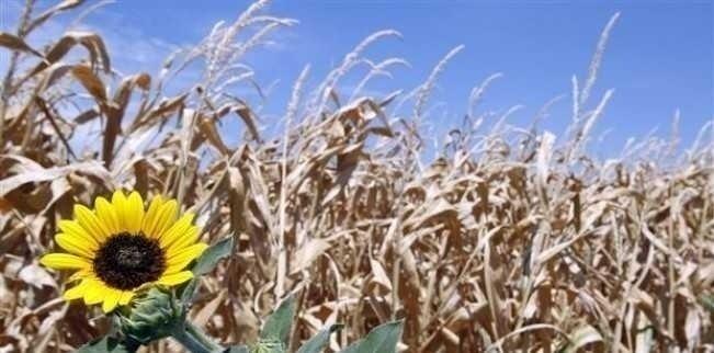SECETA FACE RAVAGII. Stare de urgenta in agricultura?