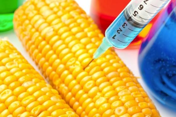 ROMANIA – IN FRUNTEA EUROPEI LA OMG! Monsanto vrea sa cultive 300.000 hectare cu PORUMB MODIFICAT GENETIC