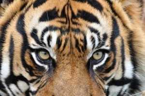 5862451-tiger-s-eye