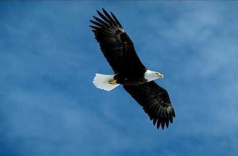 Proud and Free Bald Eagle
