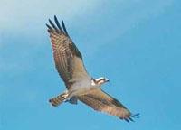 osprey-pandion_haliaetus.jpg