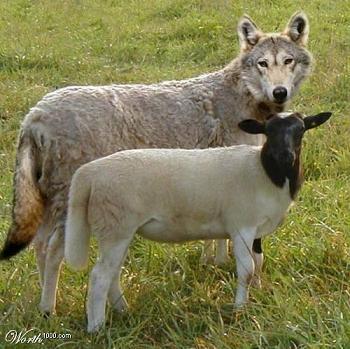 wolf-sheep-small.JPG